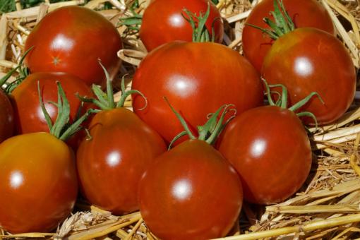 Kontinuierlicher und üppiger Ertrag sind bei der Schwarzen Japanischen Trüffeltomate fast garantiert.