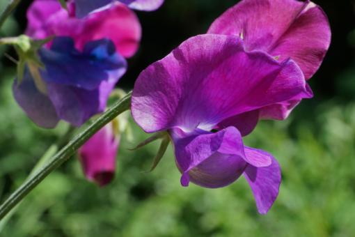 Lathyrus odoratus 'Blue Shift' eine gute Duftwicke für den Garten.