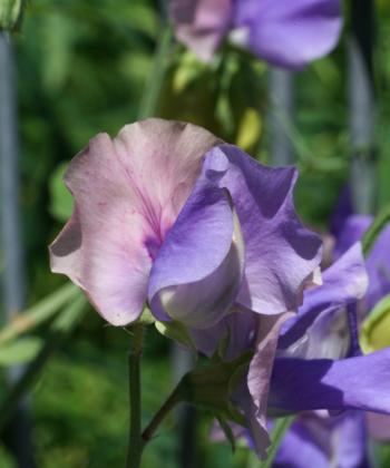 Lathyrus odoratus 'Erewhon' hat geschwungene untere Blütenblätter und duftet schön.