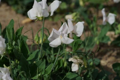 Lathyrus odoratus Cupid White klettert nicht.