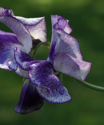Lathyrus odoratus Frances Kate hat große Blüten.