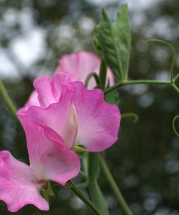 Die Duftwicke Lathyrus odoratus Gwendoline eignet sich auch für den Schnitt.