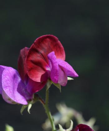 Die Wicke Lathyrus odoratus Matucana ist wie die Wildart zweifarbig.