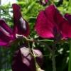 Lathyrus odoratus 'Midnight' ist eine der besten Duftwicken für den Garten.