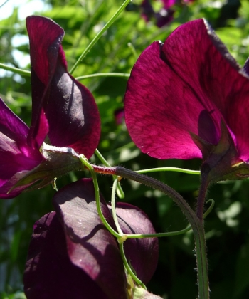 Lathyrus odoratus 'Midnight' Wicke 2