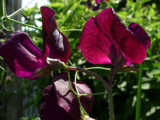Lathyrus odoratus 'Midnight' Wicke 2