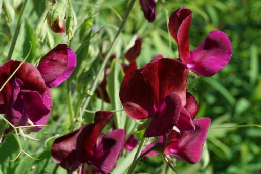 Lathyrus odoratus 'Midnight' besitzt sehr dunkle Blüten.