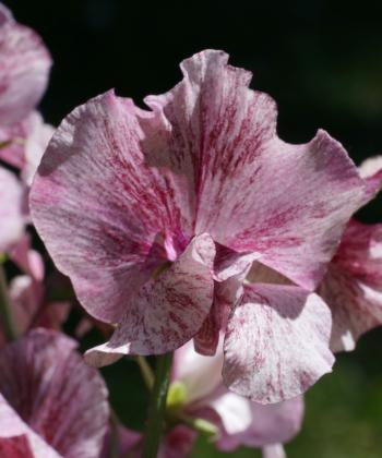 Die duftwicke Lathyrus odoratus 'Suzi Z' ist eine unserer absoluten Lieblingswicken.