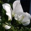Lathyrus odoratus 'White Supreme' Duftwicke