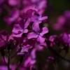 Lunaria annua Chedglow besitzt im Gegensatz zur Wildart eine eher rötliche Blütenfarbe.