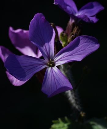 Lunaria annua 'Corfu Blue' beindruckt nicht nur durch die Blütenfarbe.
