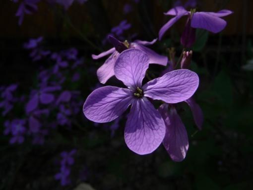 Lunaria annua 'Corfu Blue' duftet intensiv im Gegensatz zu allen anderen Auslesen des Einjährigen Silberblatts.