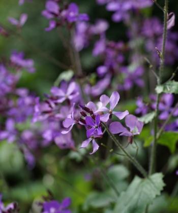 Lunaria annua 'Corfu Blue' verzweigt sich stärker als von anderen Auslesen gewohnt.