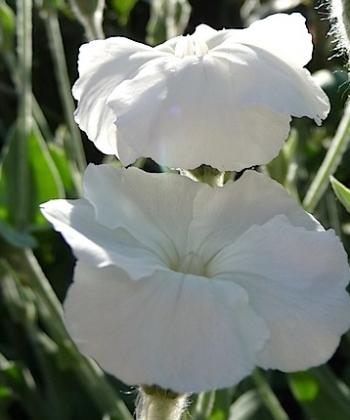 Lychnis coronaria 'Alba' Weiße Lichtnelke 2