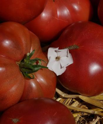 Mauserte sich schnell zu einer der liebsten Tomatensorten: Die Fleischtomate Boronia.