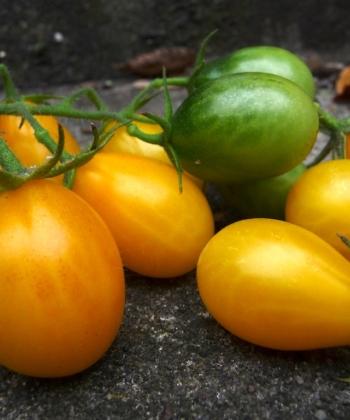 Die Tomate 'Medovaya Kaplya' ist eine russische gelbe Cocktailtomate.