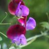 Mehr als dufte : Lathyrus odoratus Matucana.