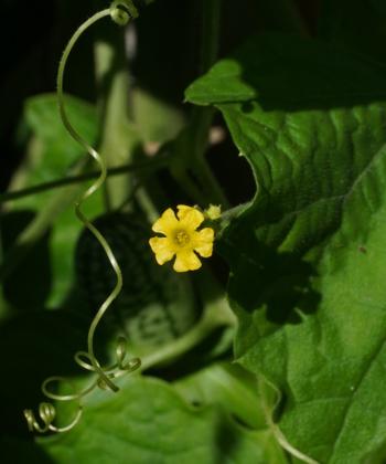 Aus den gelben Blüten der Minigurke (Melothria scabra) entwickeln sich die kleinen, nach Wassermelonen aussehenden Früchte.