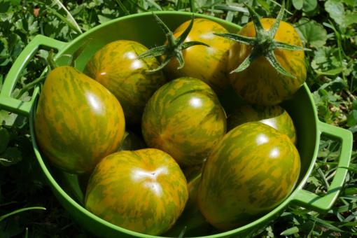 Michael Pollan bringt mittelgroße grünlich mamorierte Tomaten hervor.