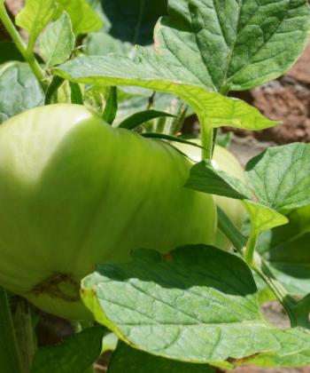 Noch unreife Tomaten der Sorte Missouri Pink Love Apple.