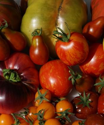 Lycopersicum - Tomaten