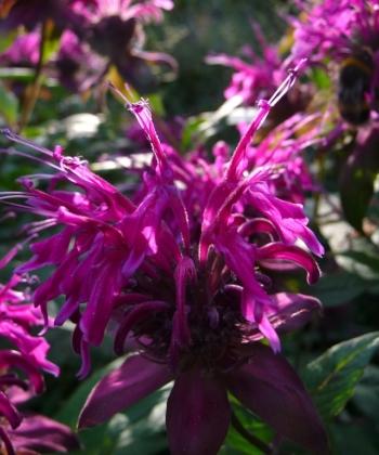 Die Indianernessel Monarda 'On Parade' ist bei uns besonders wüchsig und gesund. Die Magenta-Violetten Blüten leuchten schon vom Weiten.