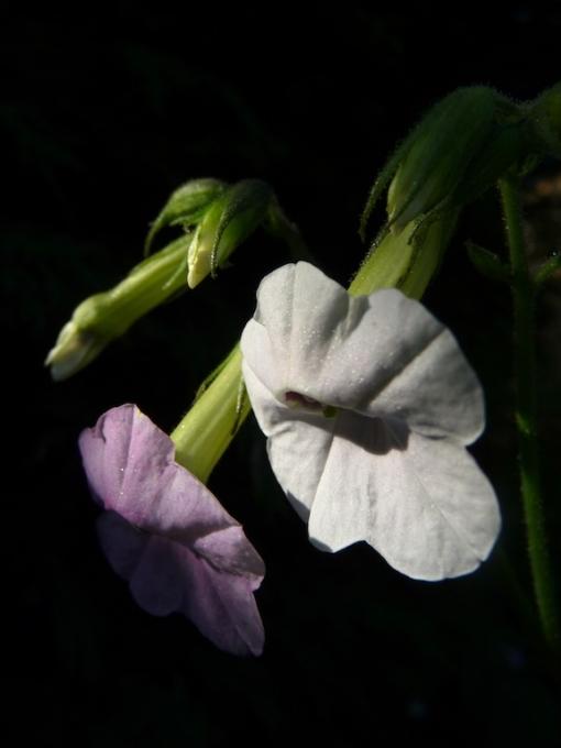 """Nicotiana mutabilis bedeutet in etwa """"wandelbarer Tabak"""". Ihren Namen verdankt die Pflanze der Eigenschaft ihre Blütenfarbe zu wechseln."""