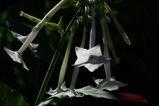 Nicotiana sylvestris (Waldtabak) hat weiße intensiv duftende Blüten und wird in vielen englischen Gärten angepflanzt.