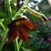 Der Ziertabak Nicotiana 'Black Knight' hat sternförmige Blüten und bereichert als Anuelle jede Gartenpflanzung.