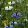 Nigella: unsere blau-weiße Samenmischung für den Garten