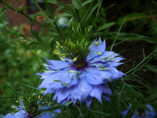 Nigella damascena 'Miss Jekyll' ist eine kräftig blaue Sorte des Schwarzkümmels.