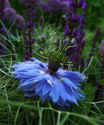 Schwarzkümmel Nigella damascena 'Oxford Blue'