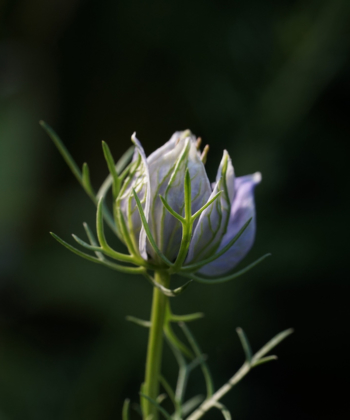 Nigella papillosa Curiosity eine sich öffnende Knospe dieses Schwarkümmels.