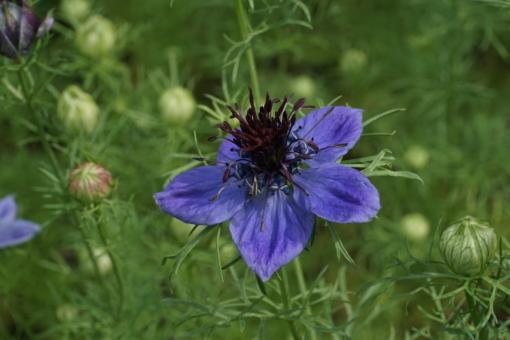 Nigella papillosa 'Curiosity' ist eine der schönsten Nigellasorten für den Garten.