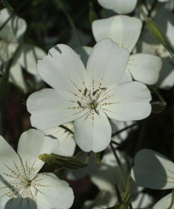 Noch großblütiger als Agrostemma githago: Agrostemma gracile Snow Queen.