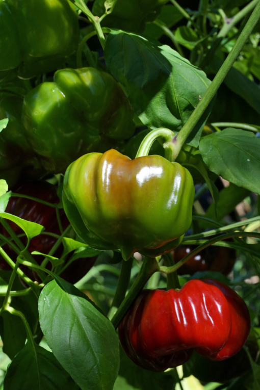 Natürlich kann man die Paprika Benxi auch grün ernten und genießen.