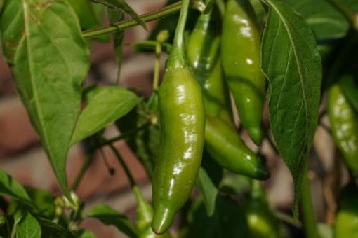 Noch unreife Früchte des Chilis 'Lemon Drop', lassen die reiche Ernte erahnen.