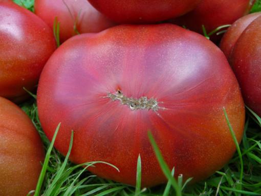 Nuits Australes eine Tomate vom anderem Ende der Welt.