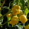 Die Chili Aji White Fantasy hat cremegelbe glockenförmige Früchte.