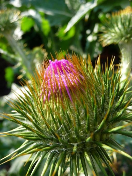 Onopordum acanthium Eselsdistel