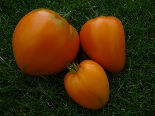 Tomate Orange Herztomate