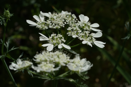 Orlaya grandiflora braucht zur Keimung ungleichmässige Temperaturen.