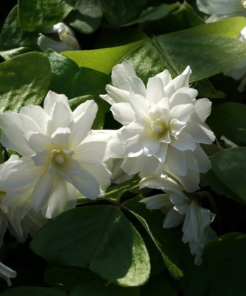 Oxalis griffithii 'Chione' ist eine eigene Auslese, die wir aus Sämlingen der Sorte 'Snowflake' selektiert haben.