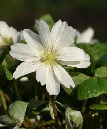Oxalis griffithii 'Snowflak' versamt sich nur selten und ist ein zahmer Bodendecker mit weißen halbgefüllten Blütensternen.