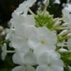 Bei dem Phlox 'Weiße Wolke' dachte man früher, dass er zu Phlox amplifolia gehören würde. Dies hat sich jedoch als botanisch nicht korrekt herausgestellt.