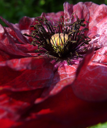 Die Klatschmohn-Mischung von Papaver 'Angels Choir' ist einfach traumhaft und jede Pflanze bereichert den Garten..
