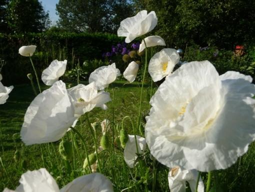 Papaver rhoeas 'Bridal White' ist ein leuchtend weißer Klatschmohn.