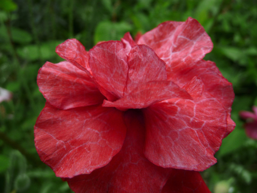 Papaver rhoeas 'Angels Choir' ist eine Samen-Mischung des Klatschmohns für den Garten.