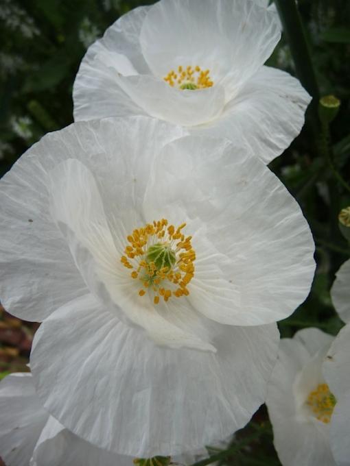 Der weiße Klatschmohn Papaver rhoeas 'Bridal White' lässt sich spielend leicht aus Samen ziehen.