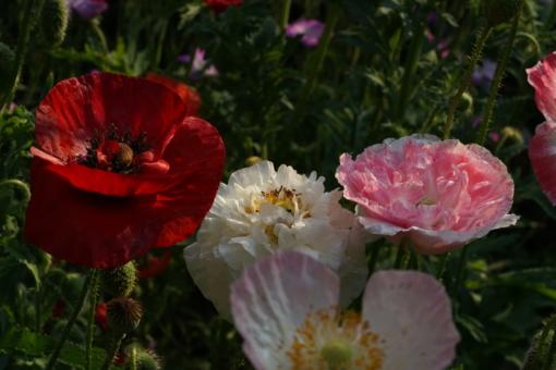 Papaver rhoeas 'Supreme zeigt nur vereinzelt nicht gefüllte Blüten.